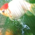 20160831 金魚(MIX)