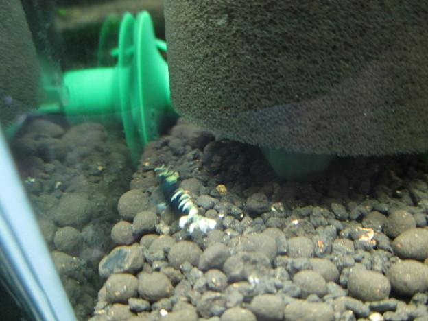 写真: 20170214 30cmエビ水槽のクラウドシュリンプ