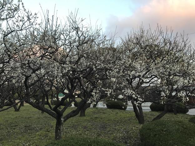 写真: 20170224 城跡公園の梅