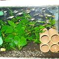 20100920 41cm水槽のエンドラーズ
