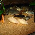 Photos: 20110807 60cmコリドラス水槽のコリドラス達