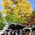 写真: 樹齢700年