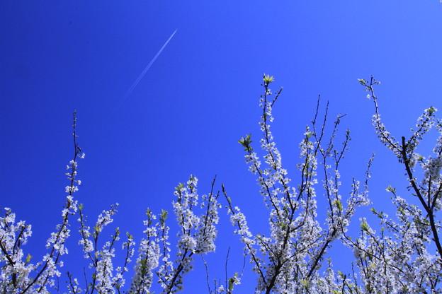 プラムの春ー2