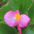 Photos: 押し花絵ではこの花弁は蝶になります(自宅の花)