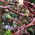 春雨の中の蝋梅の親子(自宅の花)