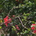 春雨の中の木瓜とメジロ(自宅の花)