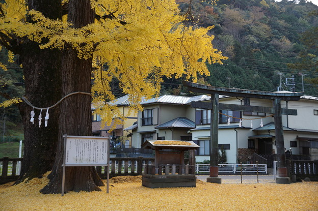 室生神社の銀杏