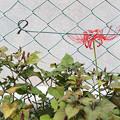 フェンスと彼岸花