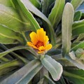 寒風に咲く・・「冬しらず」 H29-01-25