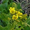 寒風に咲く・・菜の花 H29-01-25