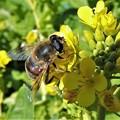 菜の花に「蜜蜂」  H29-01-26