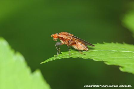 ハエ目の一種