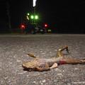 写真: 蛙のロードキル