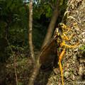 Photos: ベッコウバチの一種