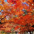 Photos: 橙葉