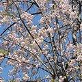 Photos: 多摩川沿いの桜15