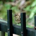 写真: キビタキの幼鳥が現れました。