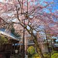 専称寺の枝垂桜
