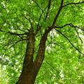 写真: 新緑を見上げる1