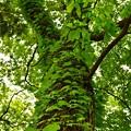 写真: 新緑を見上げる2