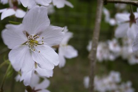 2011-04-02_京都御所_桜09