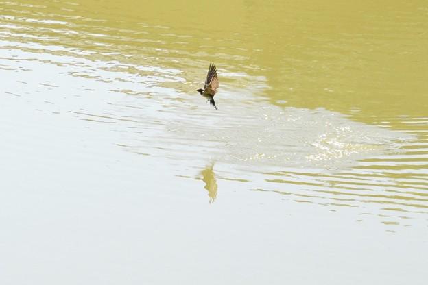 着水後、飛び出すツバメさん~