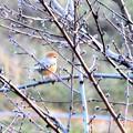 桃の木に素敵な小鳥さん~