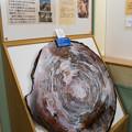 1億8千万年前の大木の化石
