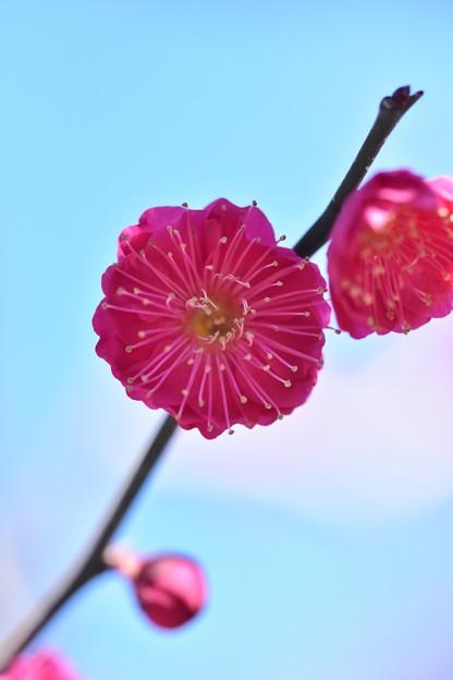 Photos: 鹿児島紅