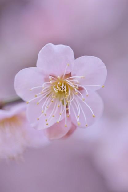 写真: 枝垂れ梅