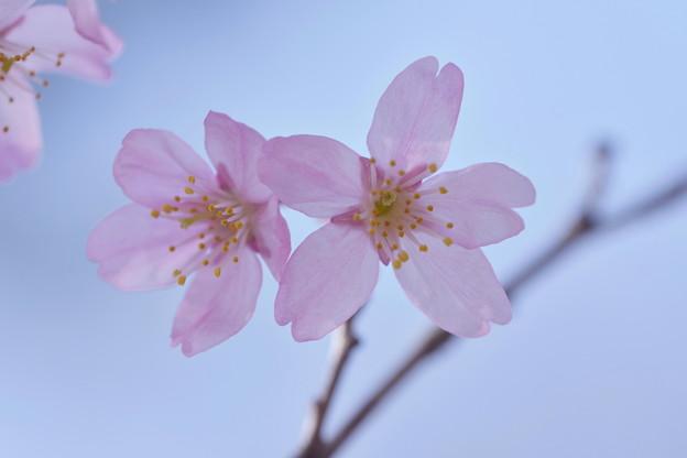 Photos: 啓翁桜