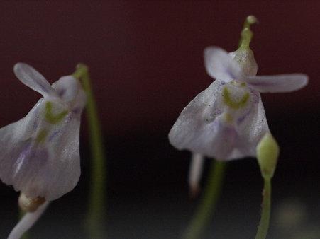 花x2+蕾x2