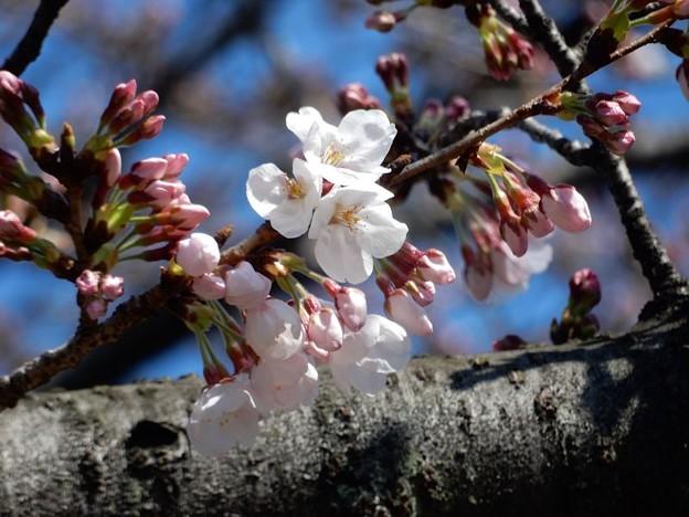 写真: DSCN1707 初桜