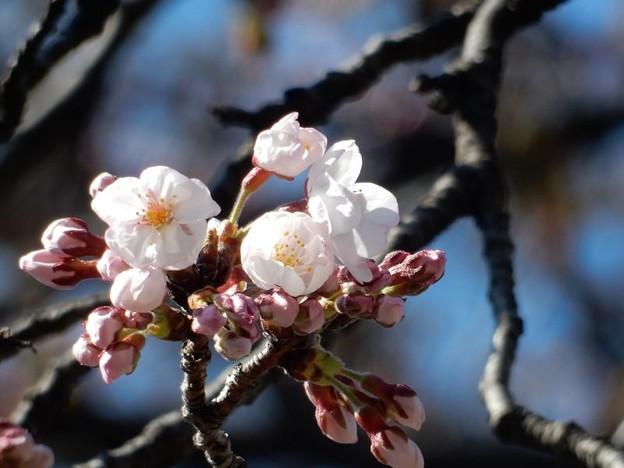 写真: DSCN1710 初桜