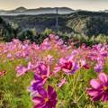 写真: コスモスの牧場