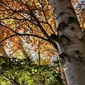 写真: 秋の白樺が好き