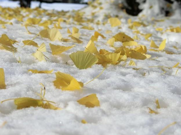 写真: 銀杏ヒラヒラ雪の上