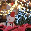 写真: ポインセチアとクリスマスイルミ