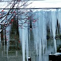 Photos: 赤い実と大同倉庫の氷柱