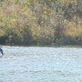 写真: 近所の川にいる野鳥