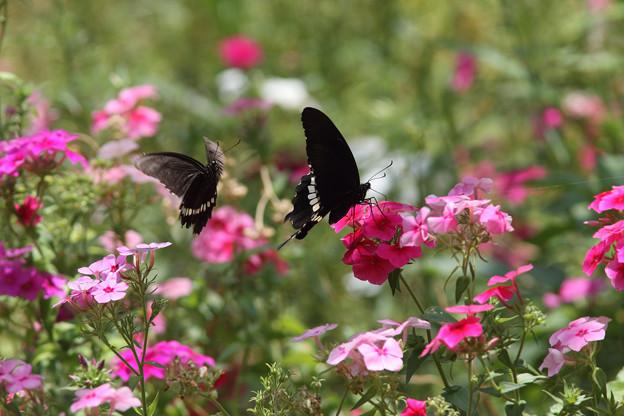 シロオビアゲハ求愛(2016/05/04 宮古島市熱帯植物園)