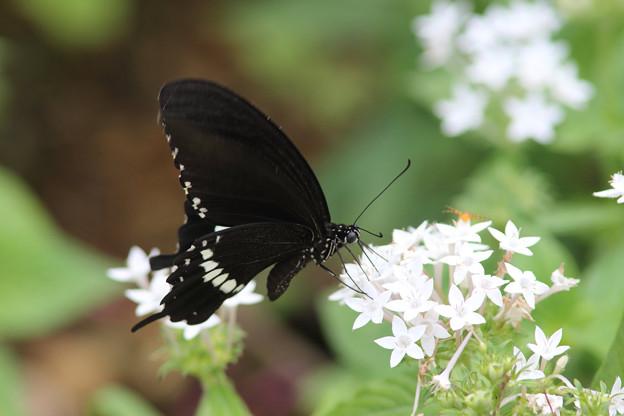シロオビアゲハ通常型(2016/05/04 宮古島市熱帯植物園)
