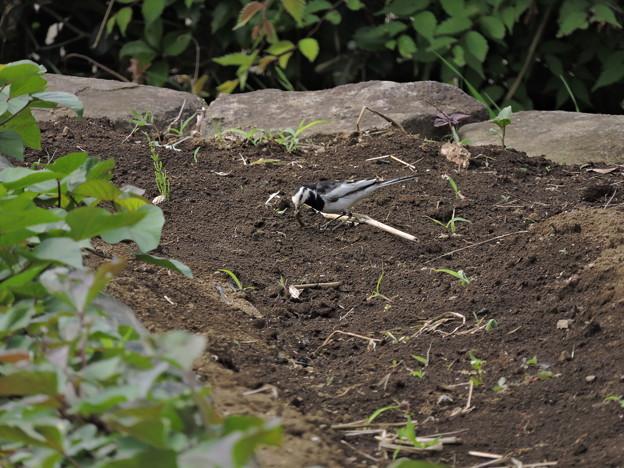 ハクセキレイの親鳥(幼鳥のために餌を探しています)
