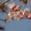 Photos: 寒桜(熱海桜)