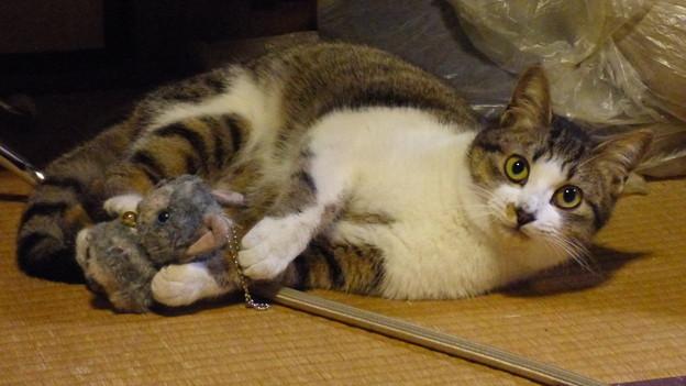 「ぬいぐるみの猫」と戯れる…
