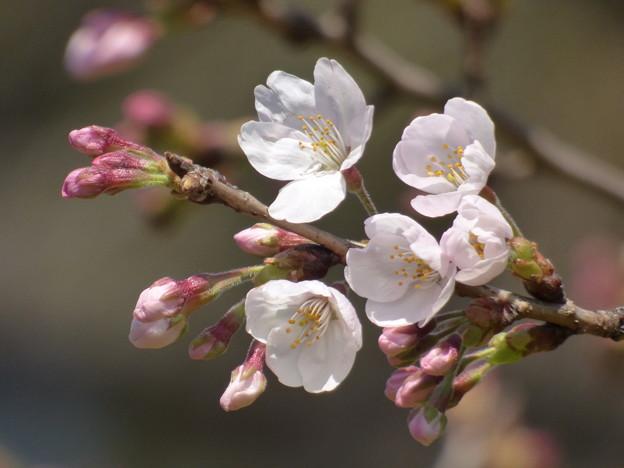 Photos: 飛鳥山の桜も開花 2017.3.22(1)