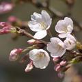 写真: 飛鳥山の桜も開花 2017.3.22(1)