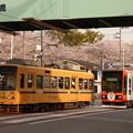 写真: 沿線の桜の素晴らしさを『新車に伝える大ベテラン車』…?