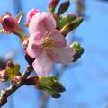 写真: 河津桜咲く