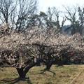 写真: 越生の梅